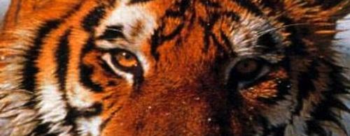 Schrodinger's Tiger
